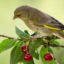 8 solutions efficaces pour éloigner les oiseaux de votre cerisier