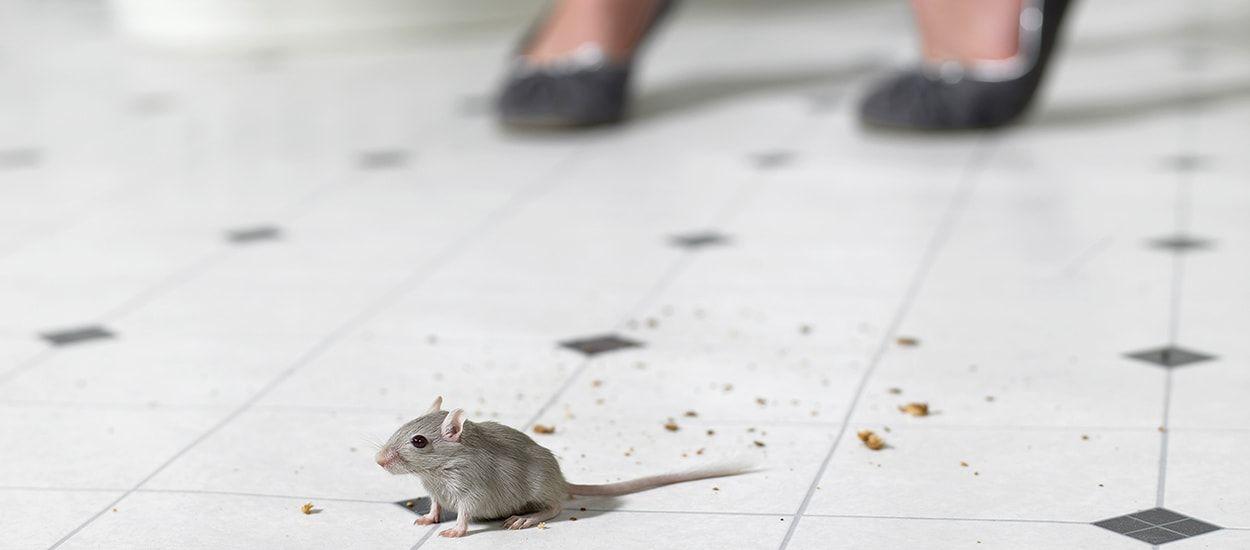 comment se dbarrasser de souris dans la maison affordable comment se dbarrasser des souris. Black Bedroom Furniture Sets. Home Design Ideas
