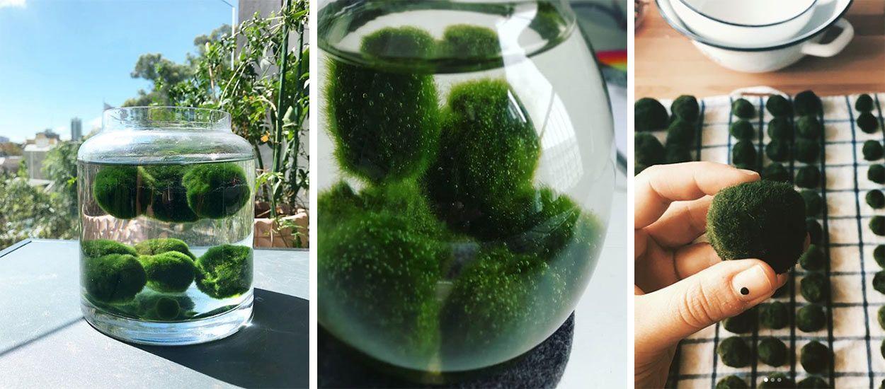 Cette adorable plante de compagnie aquatique s'appelle le Marimo et nous vient du Japon !