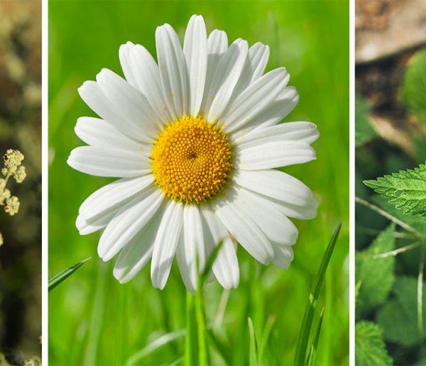 Quelles fleurs et plantes sauvages pouvez-vous manger dans votre jardin ?