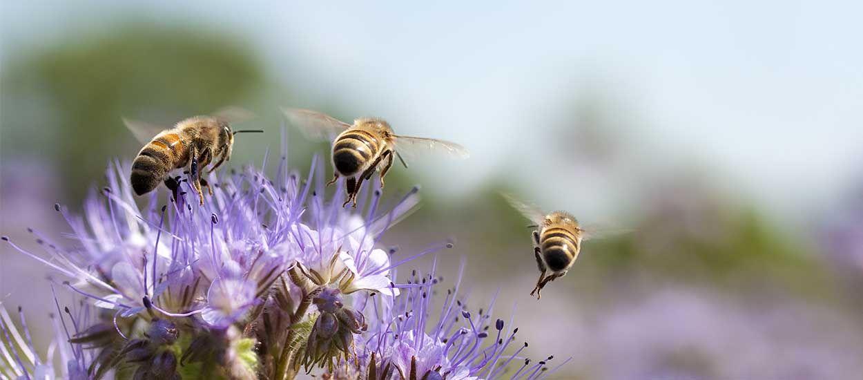 Fleurs et plantes aromatiques que vous pouvez planter pour nourrir et sauver les abeilles