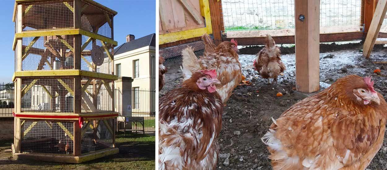 Des poules en plein centre-ville : la belle idée pour recycler vos restes de cuisine