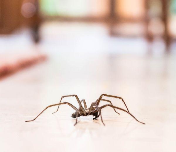 Les araignées sont utiles à la maison, si vous en voyez une, ne la tuez pas !