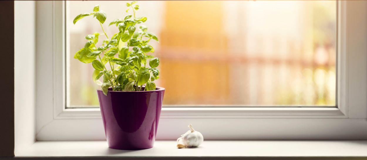 Les 5 commandements pour cultiver du basilic en pot (sans le tuer)