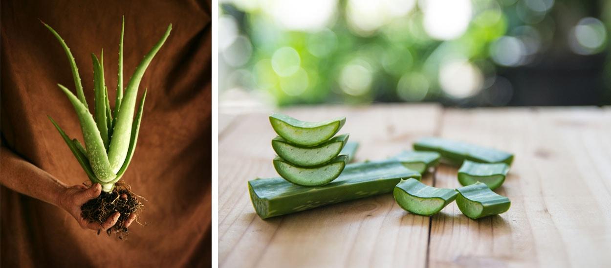 Apprenez à Cultiver Une Plante D Aloe Vera à L Intérieur De