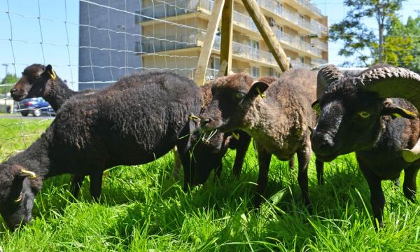 Est-ce une bonne idée d'utiliser des moutons pour tondre l'herbe de son jardin ?