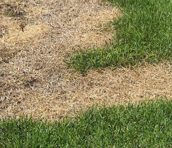 Que faire si votre pelouse est brûlée par le soleil ?