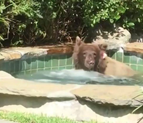 Insolite : Il se retrouve nez à nez avec un ours qui se prélasse dans son jacuzzi