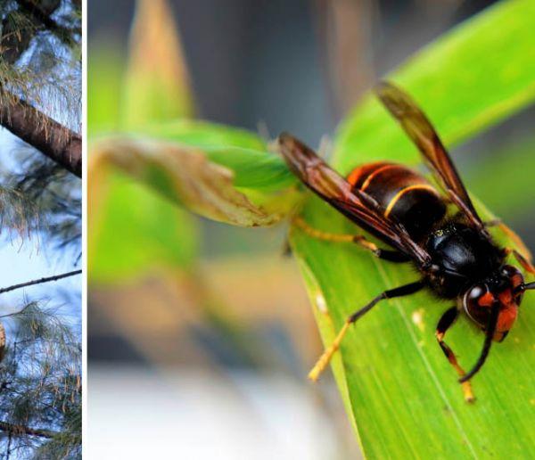 Les frelons asiatiques tuent : voici comment vous en protéger ?