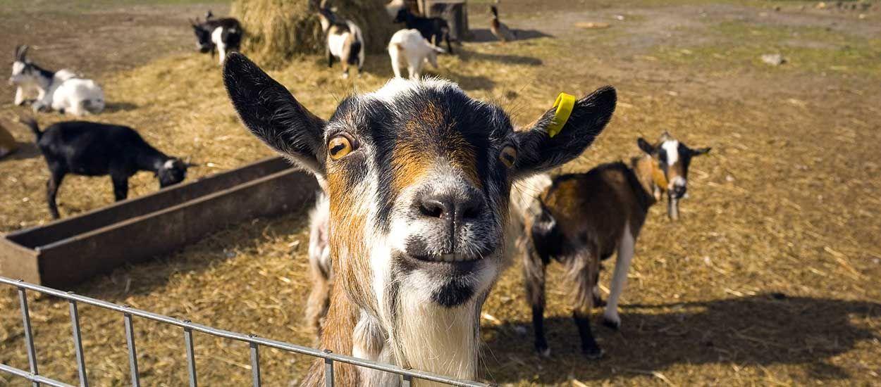 Test : Est-ce le moment de tout plaquer pour partir élever des chèvres dans le Larzac ?