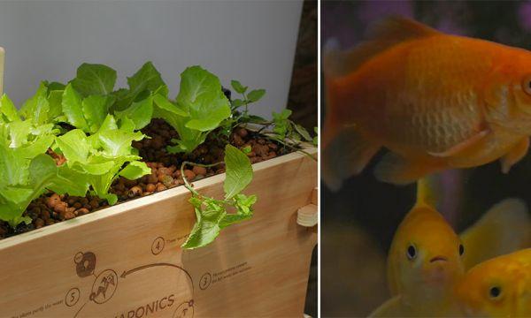 L'aquaponie est-elle compatible avec le bien-être de vos poissons ?