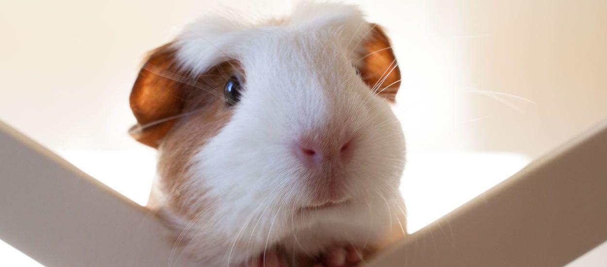 Nos conseils de pro pour que votre cochon d'Inde soit super épanoui à l'intérieur de la maison