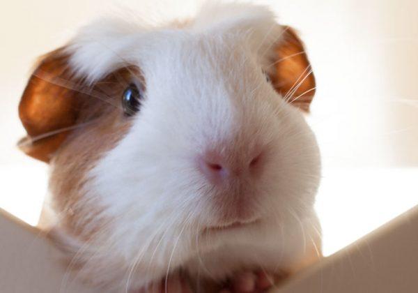 Cochon D Inde Conseils Pour Le Faire Vivre Librement Et En