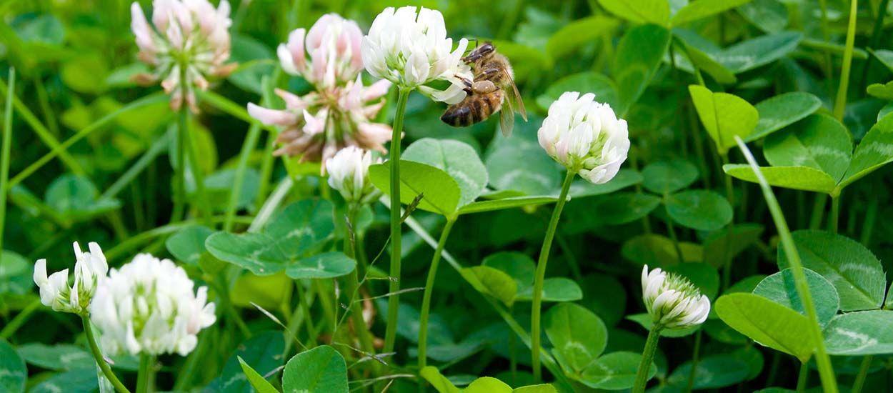 Recevez gratuitement des graines de trèfles pour sauver les abeilles !