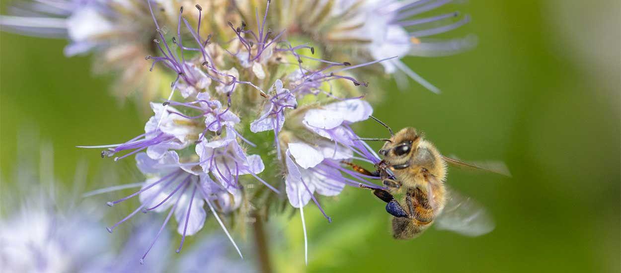 Recevez gratuitement des graines de fleurs pour sauver les abeilles !