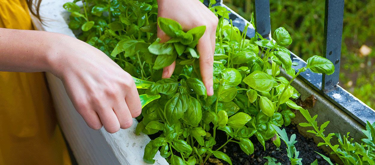 Comment cultiver votre potager en appartement, avec ou sans balcon ?