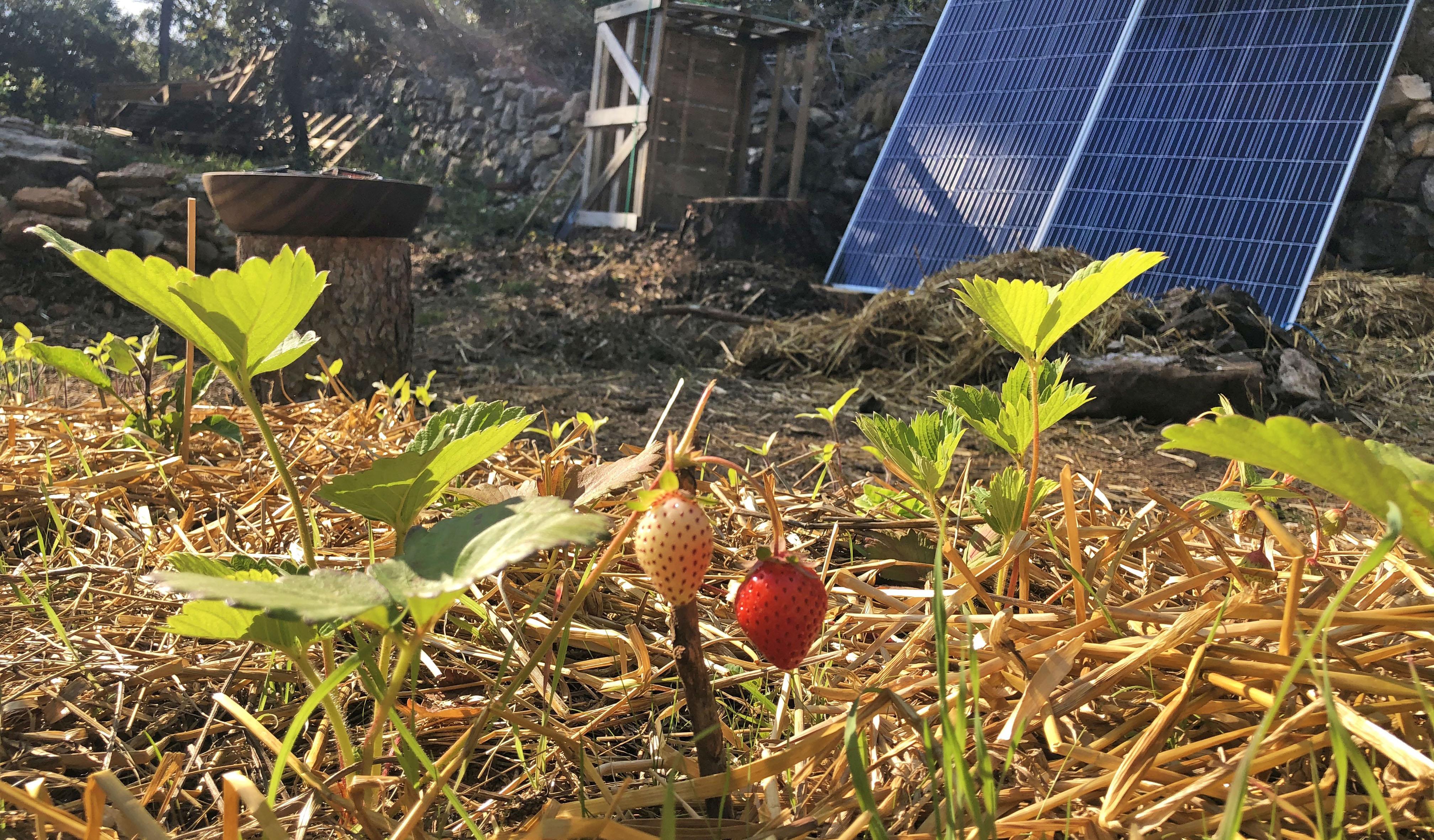 Fraises panneaux permaculture panneaux solaires