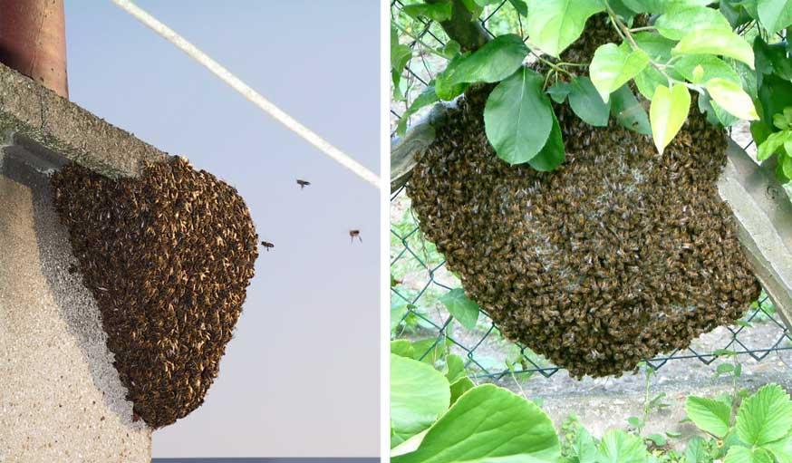 Essaims d'abeilles dans une cheminée et sur un grillage