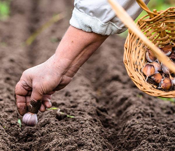 Potager : Top 20 des légumes et plantes à semer en automne