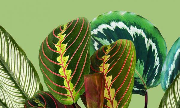 Pourquoi est-on tellement attirés par les plantes aux motifs graphiques ?