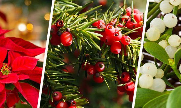 Attention, ces plantes de Noël sont toxiques pour votre chat !