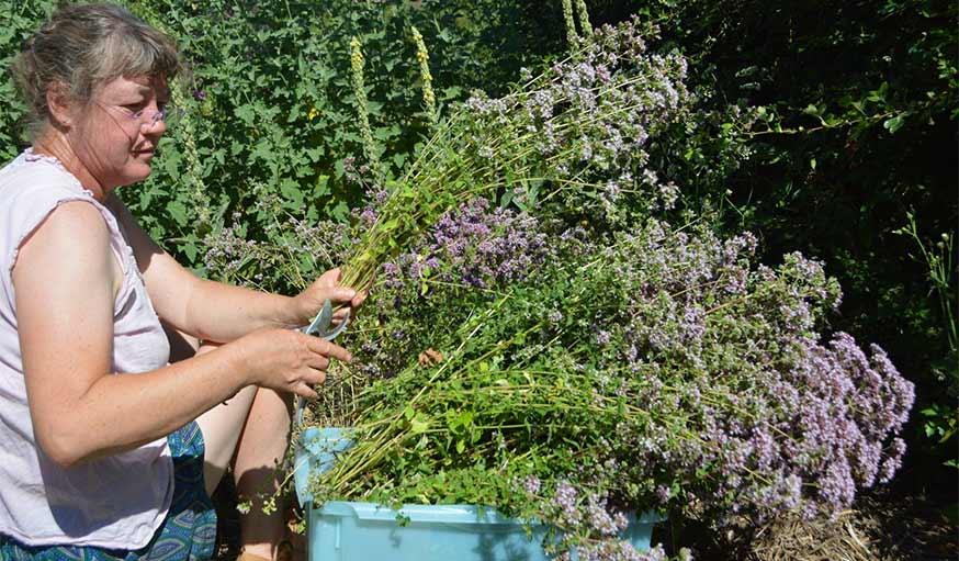 herbes aromatiques récolte de l'hysope dans le jardin