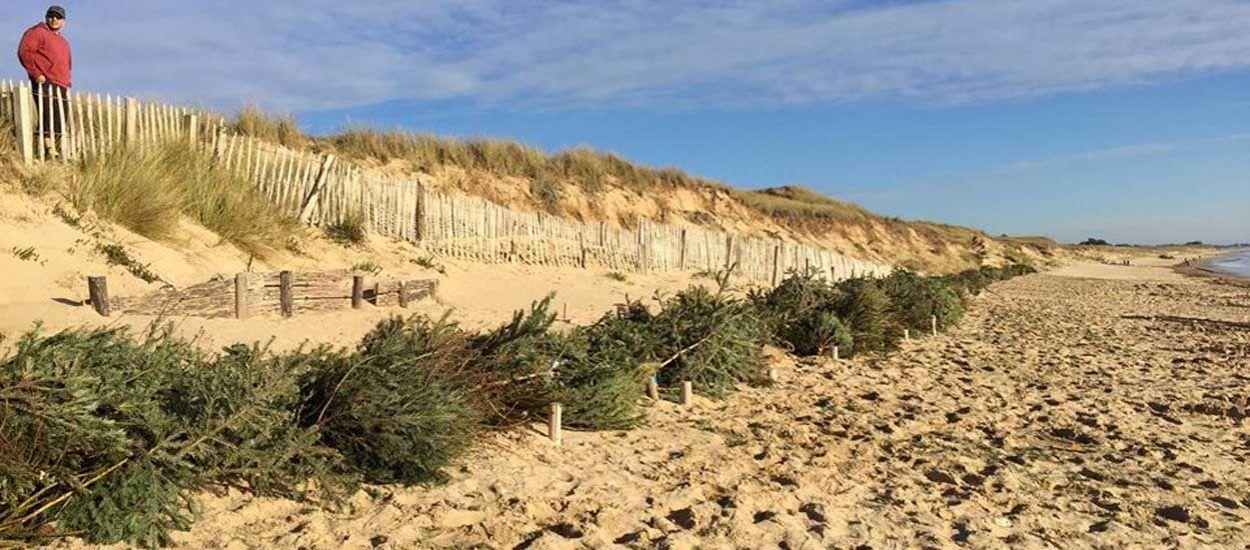 Érosion du littoral : les sapins de Noël vont sauver les dunes de l'île de Ré