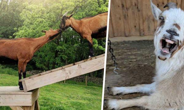 10 idées pour créer le parc à chèvres ultime dans votre jardin