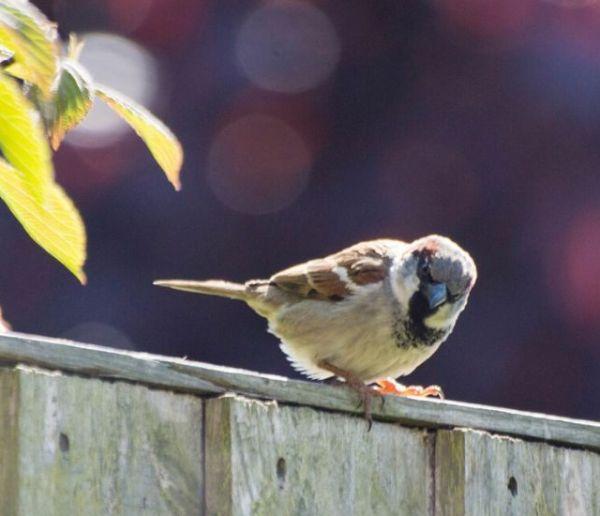 Pendant le confinement, recensez les oiseaux de votre jardin !