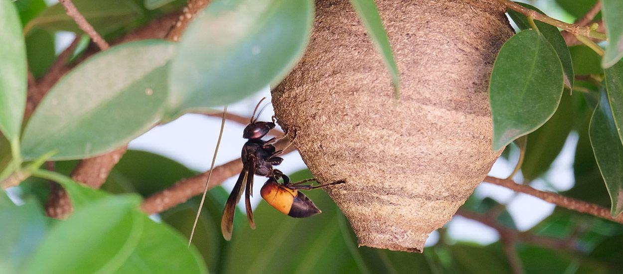 Comment repérer (et éliminer) un départ de nid de frelons asiatiques ?