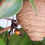 départ de nid de frelons asiatiques éliminer