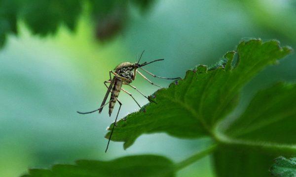Que peuvent faire les villes pour lutter contre la prolifération des moustiques ?