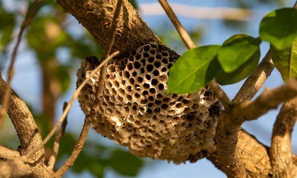 Détecter les nids de frelons asiatiques grâce à une application, c'est possible!