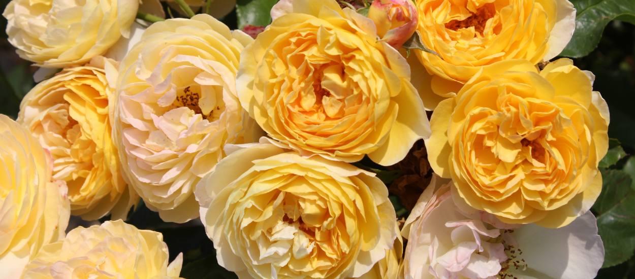 La rose de l'année est française ! Son créateur raconte comment elle est née