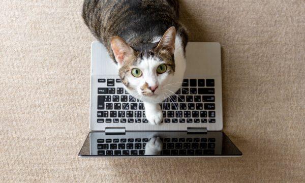 Pourquoi les chats ne peuvent-ils pas s'empêcher de s'installer sur les ordinateurs ?