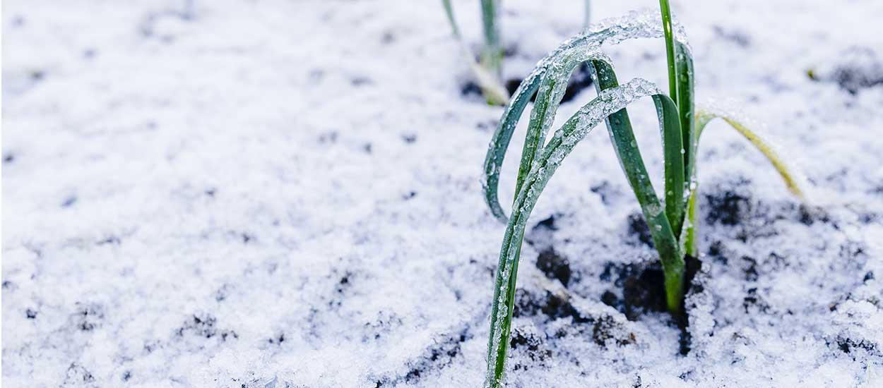 Comment aider vos légumes vivaces à passer l'hiver ?
