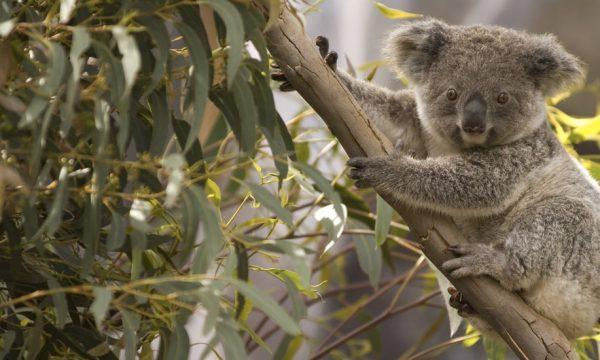 Une famille australienne découvre un koala dans son sapin de Noël