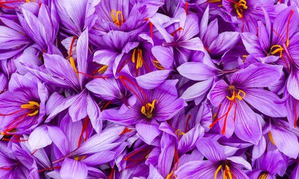 Comment cultiver du safran chez soi ?