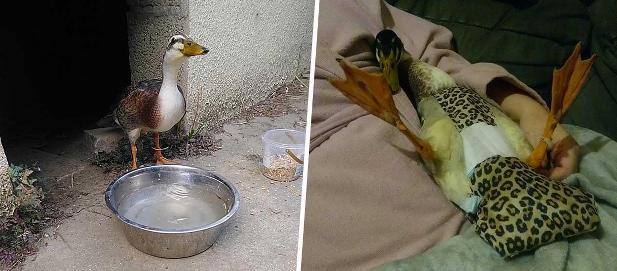 Elle sauve un canard de la route, il décide de s'installer chez elle