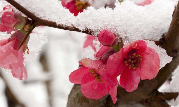 Comment bien protéger ses arbres fruitiers du gel ?