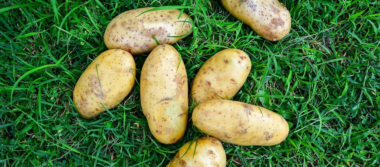 Comment faire pousser facilement des pommes de terre sur gazon ?