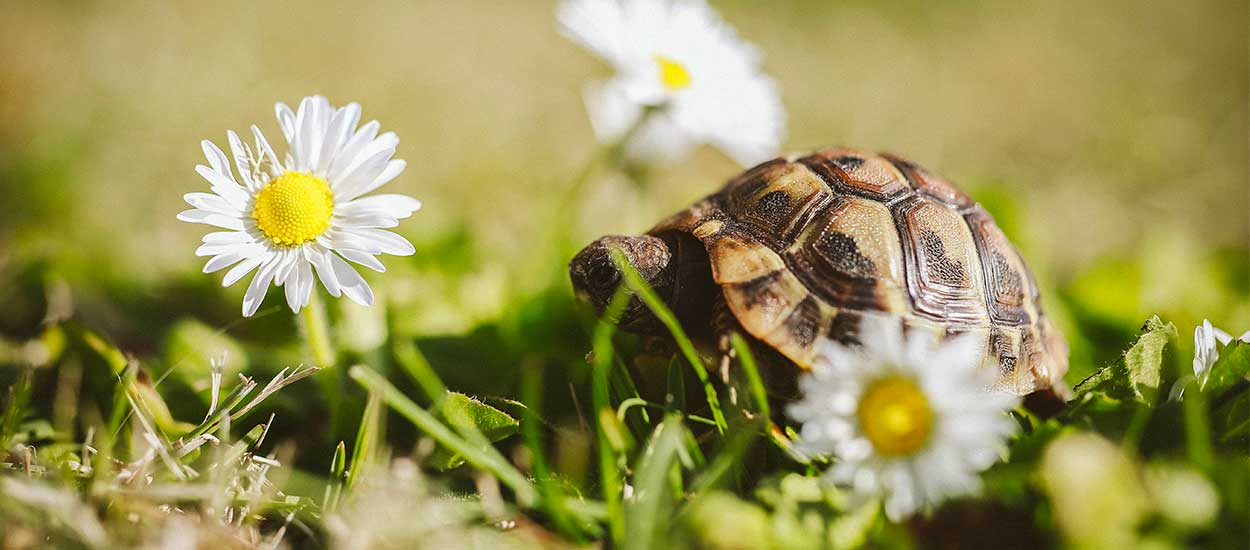 Comment aménager correctement un enclos pour tortue terrestre dans son jardin ?