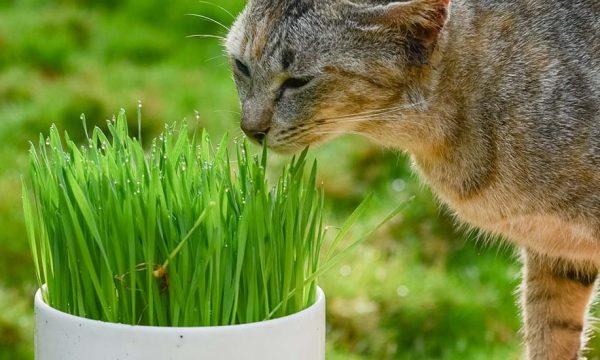 Tuto : Faites pousser de l'herbe à chat pour quelques centimes d'euros !