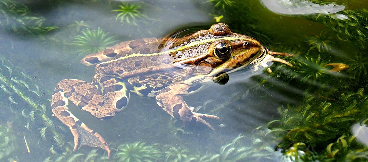 Comment attirer les grenouilles et les crapauds dans mon jardin ?