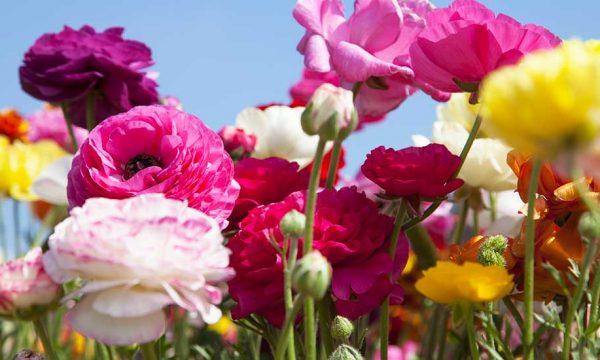Quelles sont les fleurs vivaces à planter au printemps ?