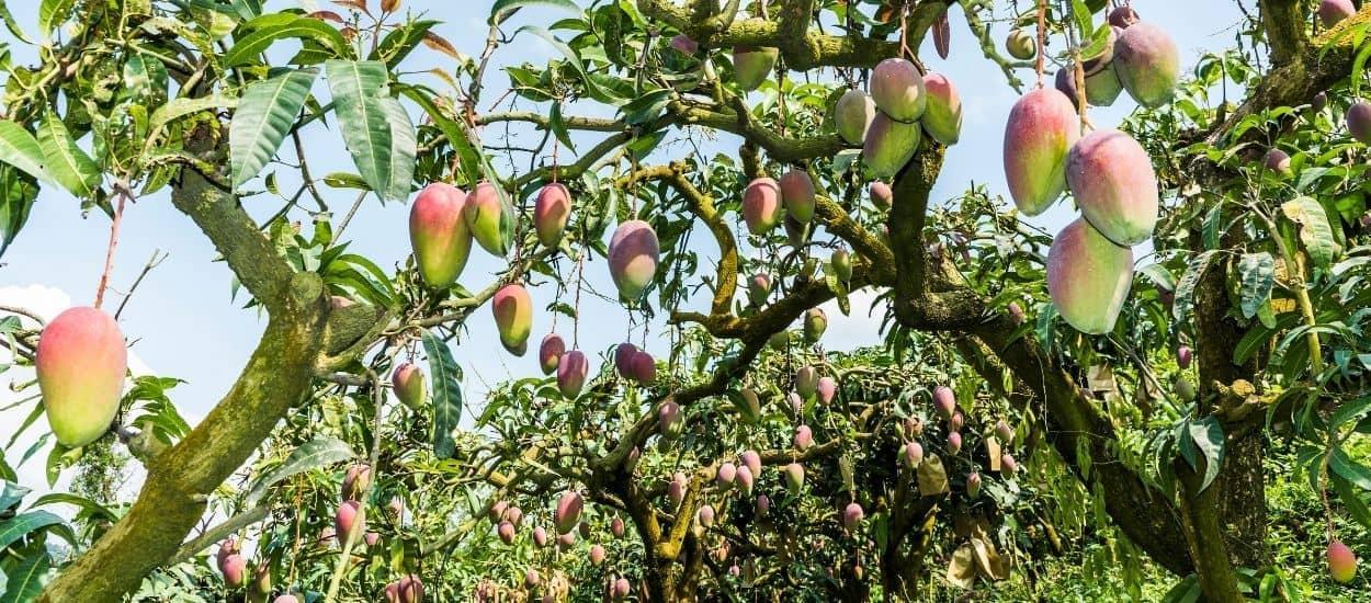 Cet homme a cultivé 300 variétés de mangues sur un seul arbre !