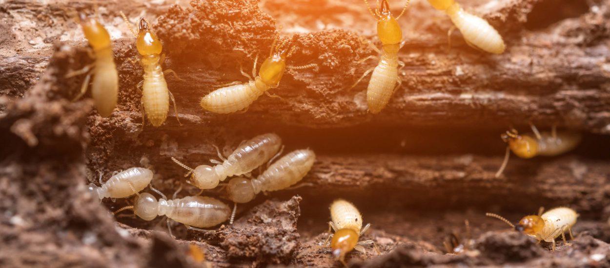 Alerte termites : comment s'en débarrasser ?