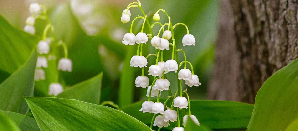 Muguet : comment le faire fleurir dans son jardin et planter ceux reçus en pot ?