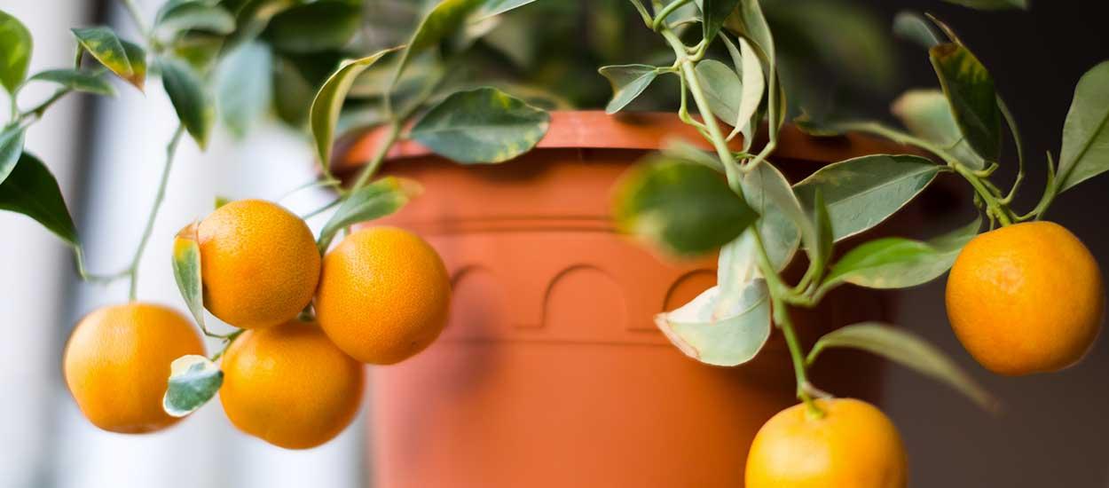 Citronnier et oranger : comment cultiver des agrumes en pot ?
