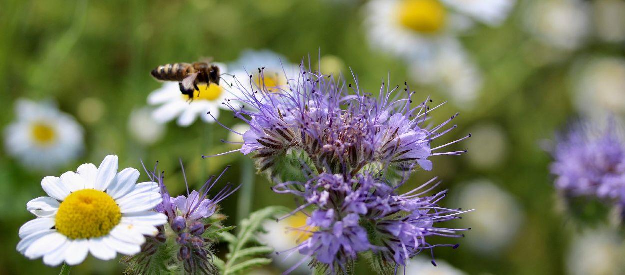 Bon pour les abeilles : 5 fleurs et plantes mellifères à semer au printemps